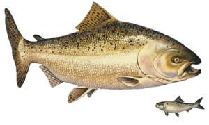 Dnr to reduce chinook salmon stocking in lake michigan for Michigan fish stocking